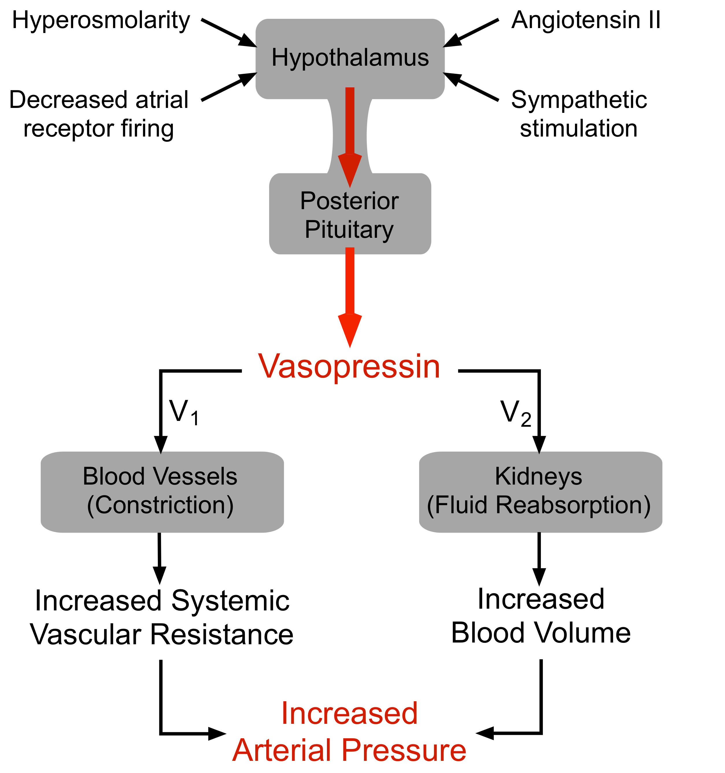 vasopressin regulation of arterial pressure