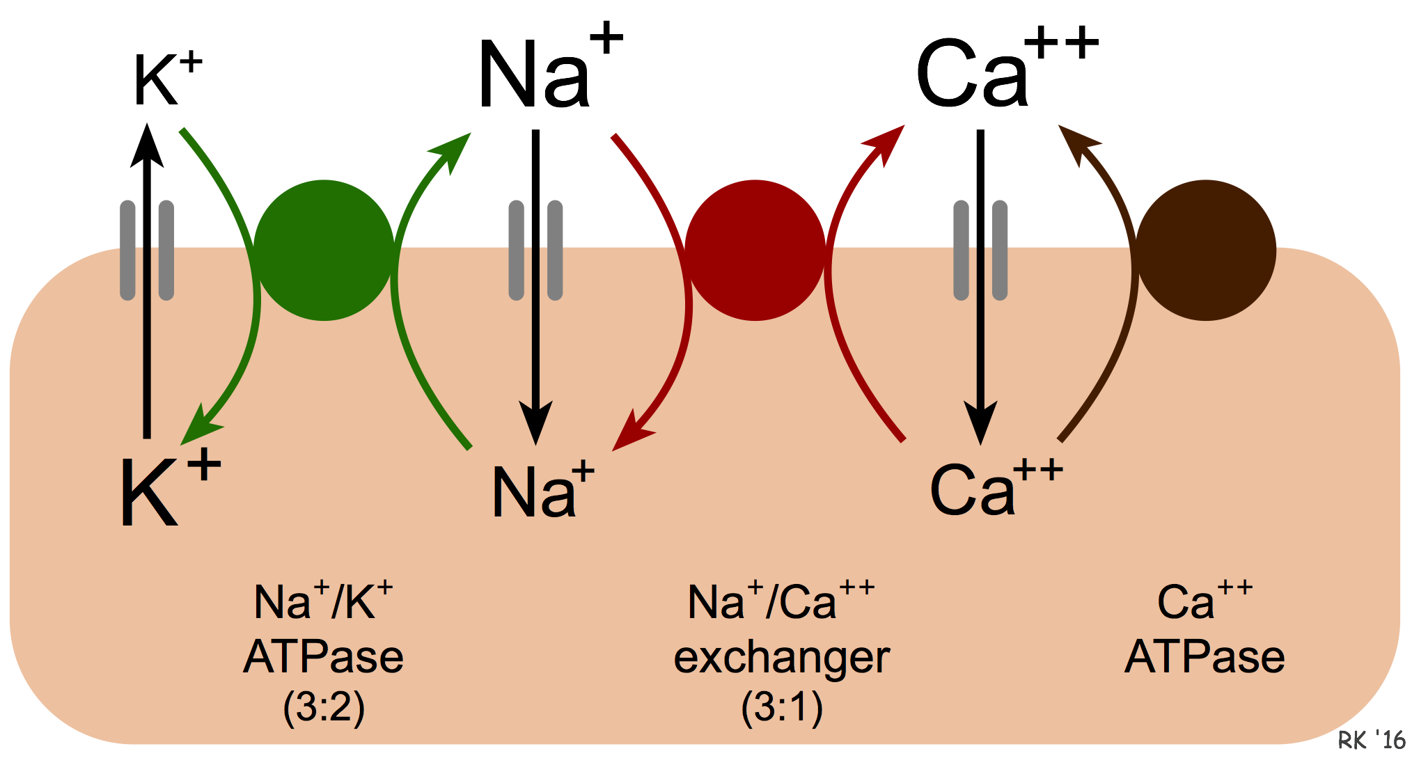 Cv Physiology Sodium Calcium Exchange In Cardiac Cells