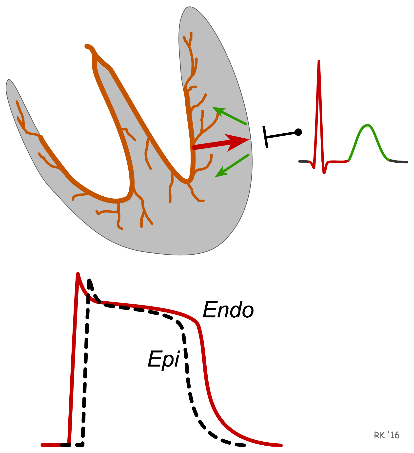 ECG T wave formation