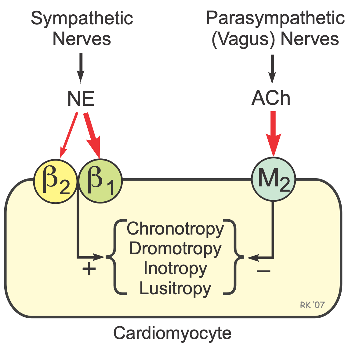 CV Physiology | Adrenergic and Cholinergic Receptors in the