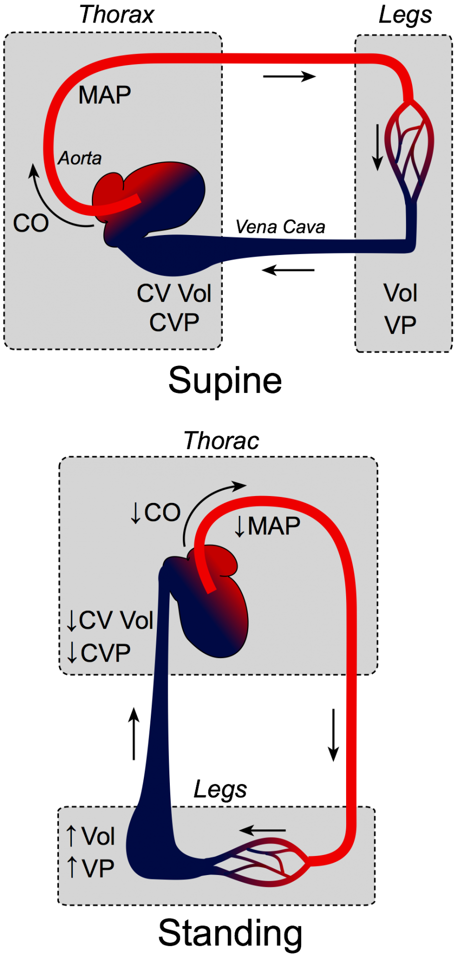 Gravity effects on circulation