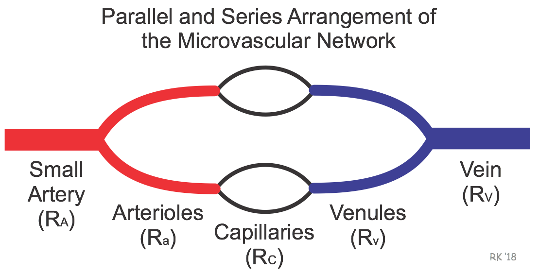 Cv Physiology Series And Parallel Vascular Networks