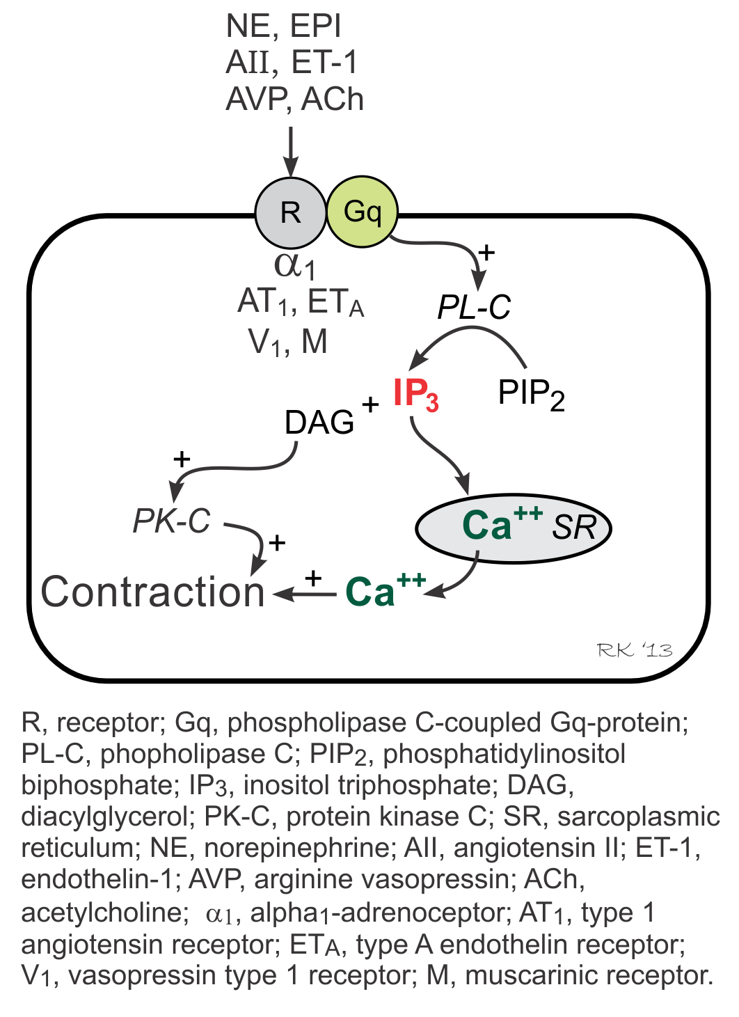 vascular Gq-protein linked inositol triphosphate pathway