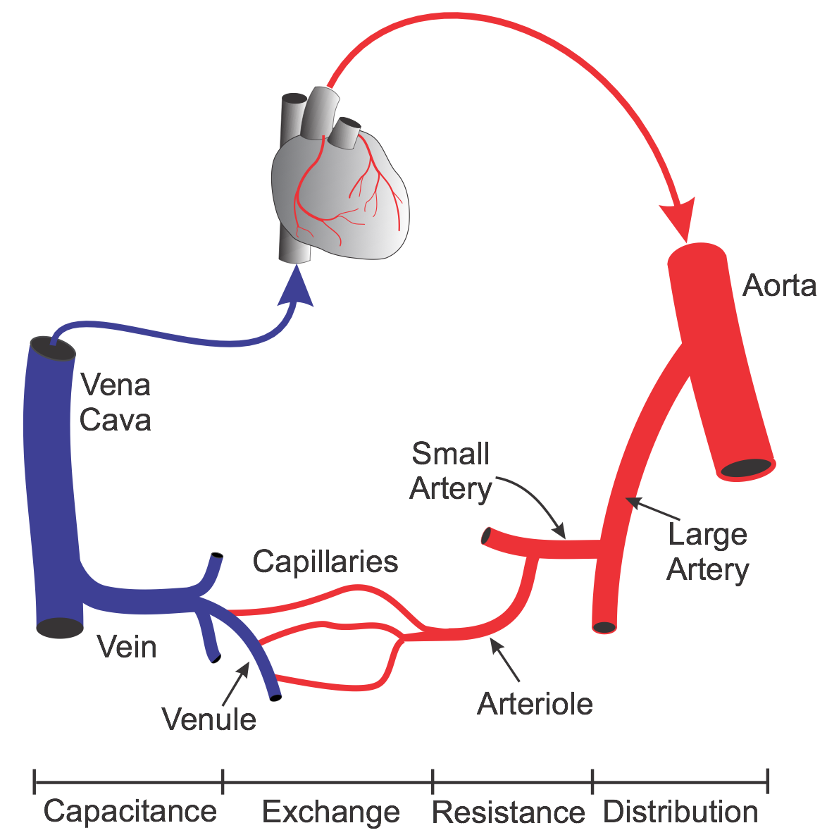 Cv Physiology Systemic Circulation