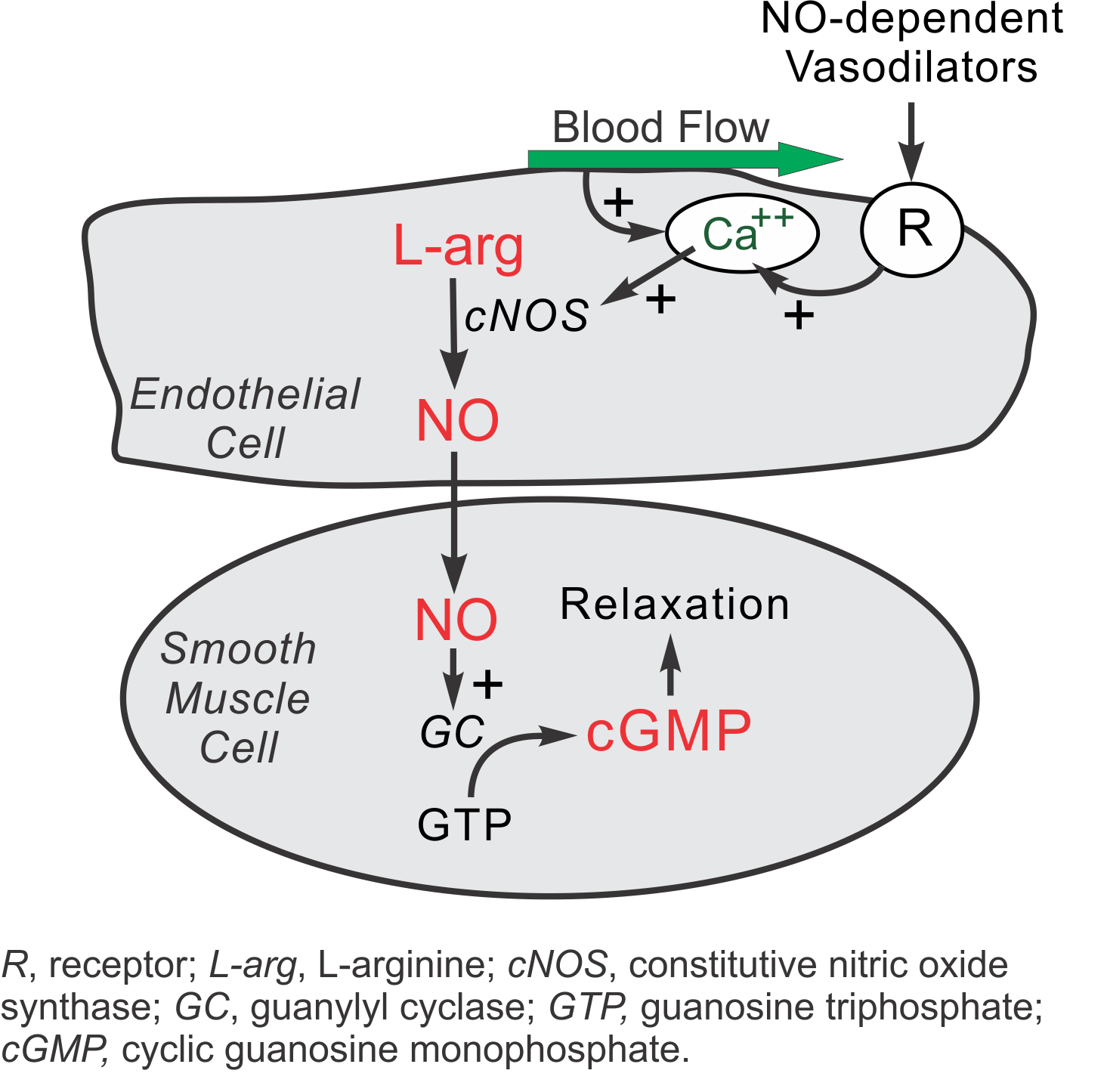 cv physiology | nitric oxide